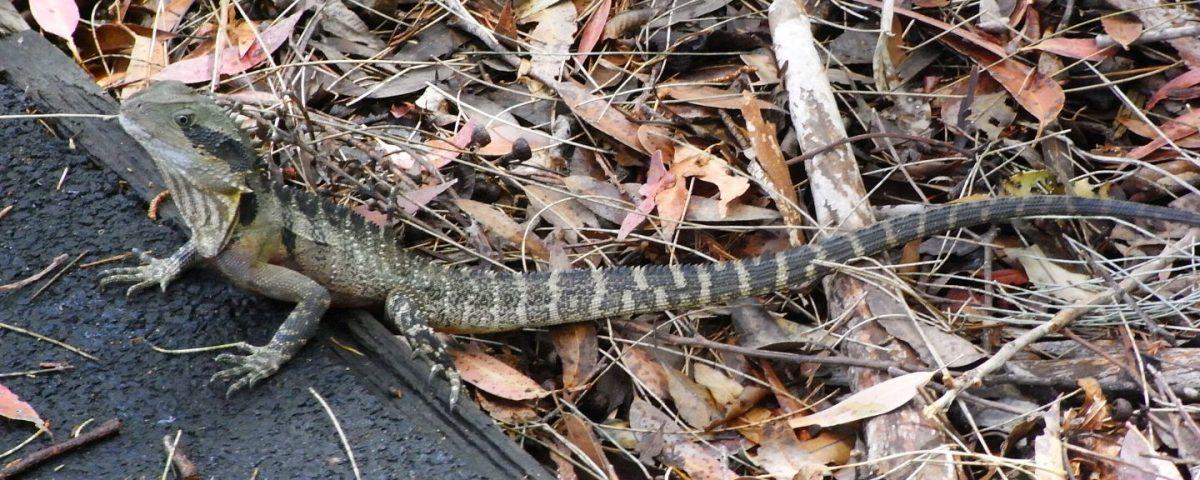Waterdragon in Australia