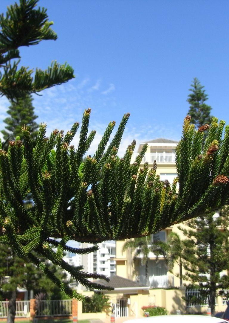 Baum Australien