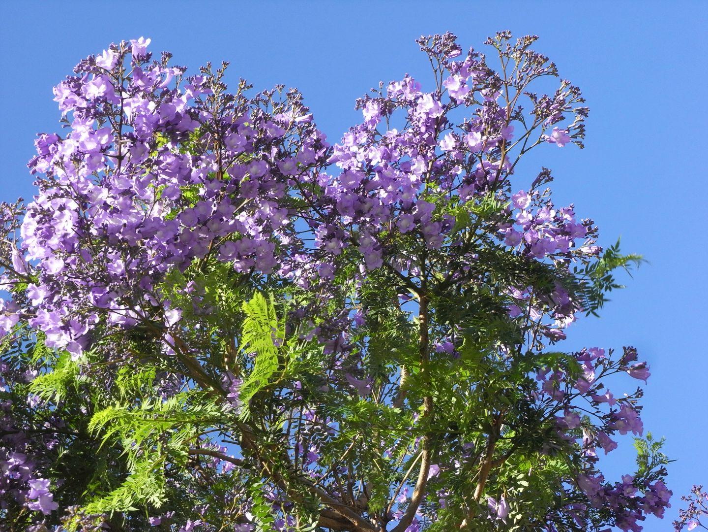 Jacaranda Blüte