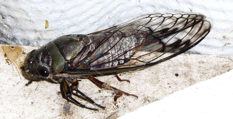 Australischer Käfer