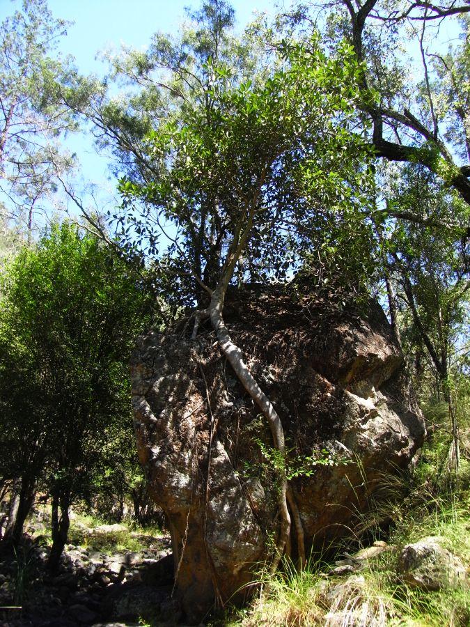 Baum auf Fels